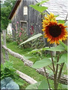 Barn with hollyhocks and sunflowers