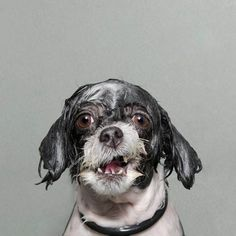 Portraits Of Dogs Getting A Bath