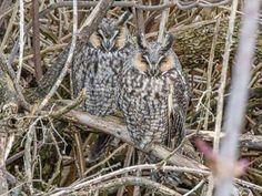 Long-eared Owls at roost in Delta, British Columbia, Canada. Photo thanks to A.Bucci Photography. More about this species here --> http://owlpag.es/LongearedOwl