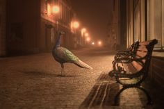 A Peacock walking the streets of Porvoo Finland at Night