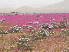 Atacama, flores