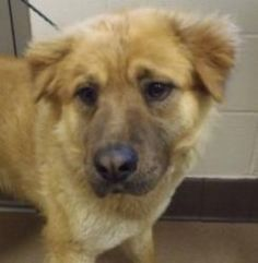 120682 is an adoptable Chow Chow Dog in Apple Valley, CA. Found at aqueduct. ***** AVAILABLE FOR ADOPTION ON 4/23/13 *****...