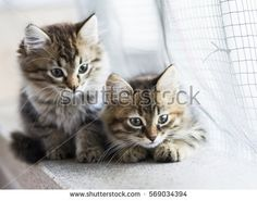 beauty siberian puppy cat,brown version