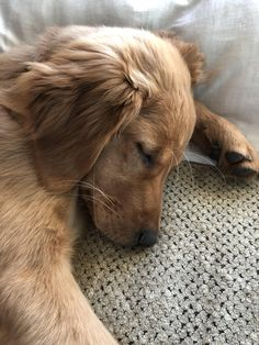 Little Fozzy is such a sweet little boy. Animals And Pets, Baby Animals, Cute Animals, Cute Puppies, Dogs And Puppies, Doggies, Cute Dogs Breeds, Secret Life Of Pets, Retriever Puppy