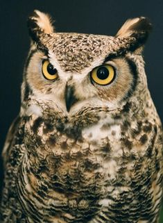 I think this owl is so punny! Owl Photos, Owl Pictures, Realistic Owl Tattoo, Owl Tattoo Design, Great Horned Owl, Curious Creatures, Beautiful Owl, Owl Bird, Tier Fotos