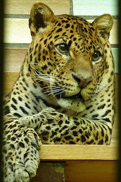 The critically endangered Javan leopard (Panthera pardus melas).  The world population is estimated at less than 250 mature individuals, with a decreasing population trend.