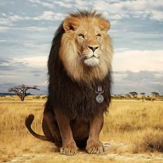 The King of the Jungle Gets His Medal