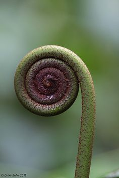 Unrolling young frond of a true fern (Polypodiopsida)