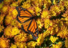 Butterfly Art - Fall Decor - Autumn Decor - Nature Art - Nature Photography - Home Decor - Original Art - Fine Art - Wall Art - Flower Photo