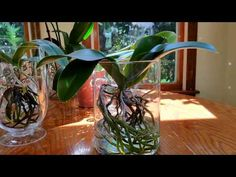 How I fertilize my full water culture phalenopsis orchids. - YouTube