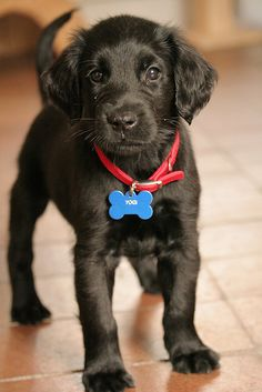 "Will You Be My Friend? | Flickr - Photo Sharing! |  ""Yogi""; our new little Flat Coated Retriever puppy takes a moment to show off his snazzy collar and name tag. He is desperately friendly and loves attention, at the moment he gets very upset every time we leave him alone and with those ""puppy dog eyes"" it is a very tough thing to listen to his desperate pleas for attention."