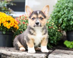 😘Say hello to Rex an #incredibly #cute and #precious #WelshCorgi #puppy! His caring, loving #heart will make for a loyal #bestfriend who will always be there for you!! • #Charming #PinterestPuppies #PuppiesOfPinterest #Puppy #Puppies #Pups #Pup #Funloving #Sweet #PuppyLove #Cute #Cuddly #Adorable #ForTheLoveOfADog #MansBestFriend #Animals #Dog #Pet #Pets #ChildrenFriendly #PuppyandChildren #ChildandPuppy #LancasterPuppies www.LancasterPuppies.com