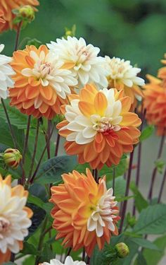Dahlias of Butchart Gardens Orange Cream Dahlias the color would be perfect in a tattoo. The post Dahlias of Butchart Gardens appeared first on Diy Flowers. Exotic Flowers, Amazing Flowers, Beautiful Flowers, Dahlia Flowers, White Dahlias, Diy Flowers, Flower Colors, Beautiful Gorgeous, Absolutely Stunning