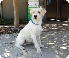 Lathrop, CA - Poodle (Miniature)/Terrier (Unknown Type, Small) Mix. Meet Basil, a dog for adoption. http://www.adoptapet.com/pet/16274868-lathrop-california-poodle-miniature-mix
