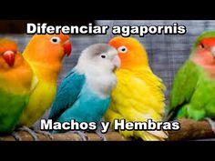 43 Ideas De Agaponis Periquitos Aves Pajaros