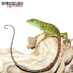 Monkey Anole - Underground Reptiles Alligators, Crocodiles, Chameleons, Lizards, Underground Reptiles, Lizard Dragon, Small Insects, Salamanders, Tree Tops
