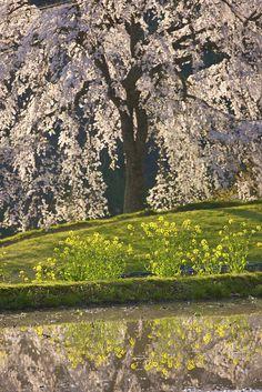 ~~Weeping Cherry Tree   Akiota-cho, Hiroshima Prefecture, Japan by araget~~
