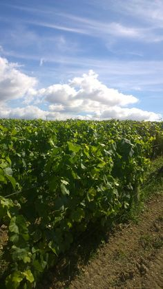 Les vignes du Clos Saint-Hilaire sous le soleil