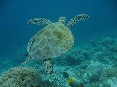 At Sipadan turtles can be seen on every dive but even while snorkeling there is a good chance to see some of these breathtaking creatures.