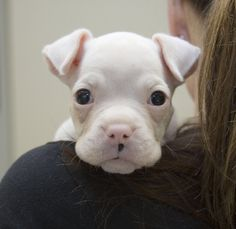 """Original pinner said: """"Our 6 week old solid white boxer"""""""