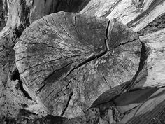 Dead tree stump Medway country park on the bridle way by Sharps Green bay [shared]