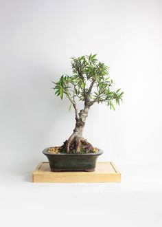 """Willow leaf fig bonsai tree """"Summer'16 Fig collection by LiveBonsaiTree"""" by LiveBonsaiTree on Etsy"""