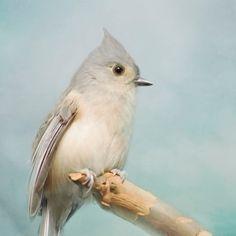 A Moment's Rest -- Silver Blue Gray Feathers Titmouse Bird Photography Print (8x10) #titmouse #bird