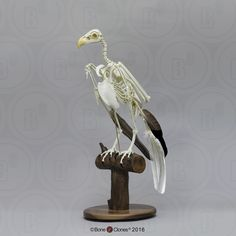 Articulated Bald Eagle Skeleton - Bone Clones, Inc. Skeleton Photo, Skeleton Bones, Garra, Bald Eagle Wingspan, Tatuaje Studio Ghibli, Eagle Drawing, Drawing Birds, Skull Reference, Anatomy Reference