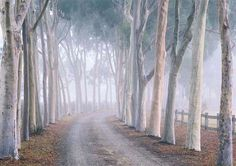 Nothing epitomises the image of Australian garden design more strongly than the wonderful avenue of Lemon Scented Gums Corymbia citriodora at Cruden Farm, Langwarrin near Melbourne. The twist in the driveway and the random spacing of the trees gives a hin Australian Garden Design, Australian Native Garden, Australian Plants, Modern Garden Design, Landscape Design, Tree Lined Driveway, Driveway Landscaping, Driveway Ideas, Farmhouse Garden