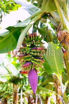 Stock Photos, Vectors and Royalty Free Images from Banana Plants, Fruit Plants, Fruit Trees, Musa Banana, Banana Flower, Home Landscaping, Canary Islands, Chickens Backyard, Amazing Flowers