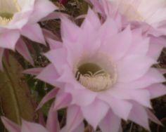 Kaktusz Cacti And Succulents, Plants, Plant, Planting, Planets