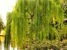 I love love love weeping willow trees! Someday I will have one in my front yard.