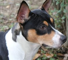 Decker Rat Terrier's are the largest of the rat terrier breed - this one is on the hunt. Description from pinterest.com. I searched for this on bing.com/images