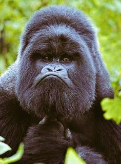 Best funny monkey pictures of all time - 55 pics mountain gorilla, animal Primates, Mammals, Reptiles, Funny Monkey Pictures, Animal Pictures, Animals And Pets, Funny Animals, Cute Animals, Amazing Animals