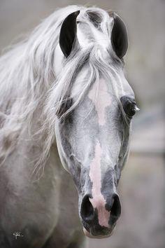 . Horse Photos, Horse Pictures, Most Beautiful Animals, Beautiful Horses, Zebras, Cavalo Wallpaper, Arabian Stallions, Arabian Horses, Andalusian Horse