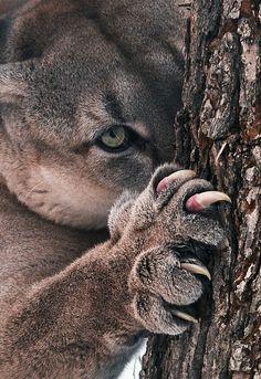 Cougar. Look at those knives! Great shot.