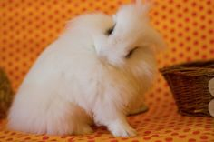 Too Cute! Love fluffy bunnies.