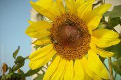 Μέλισσες που συλλέγουν νέκταρ