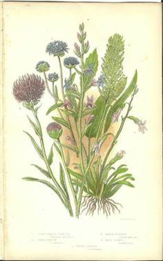 Antique Color Anne Pratt Flower Plant Print Botanical Plate 131 c.1850