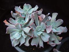 Echeveria 'Blue Spur', a mutation of Echeveria Edna Spencer