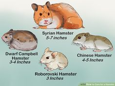 How to Care for a Hamster. There are several kinds of hamsters and most live for about years. Hamsters are nocturnal creatures, which means that they like to sleep all day. However, dwarf hamsters are crepuscular, meaning they are most. Baby Hamster, Diy Hamster Toys, Hamster Names, Hamster Stuff, Chinese Hamster, Syrian Hamster, Hamster Roborovski, Humane Society, Cute Hamsters