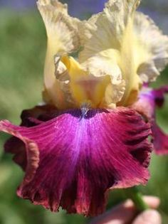 Iris Germanica 'Summer Fiesta'