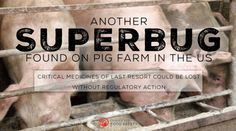 Another Superbug Found on Pig Farm in the U.S.