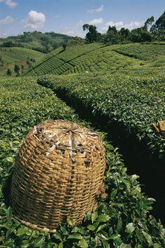 Tea plantations covering the hills near Mount Kenya, Kenya.  Photo: National Geographic