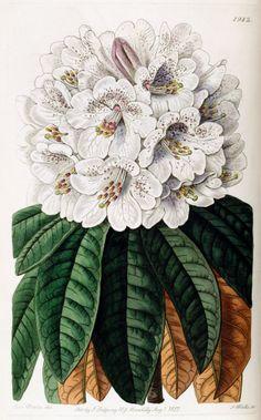 Tree Rhododendron - Rhododendron arboreum var. cinnamomeum - circa 1837