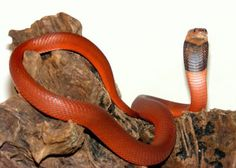Red Spitting Cobra ~ Venomous Snakes