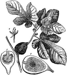 Fig drawing google search tattooed pinterest for Fig tree tattoo