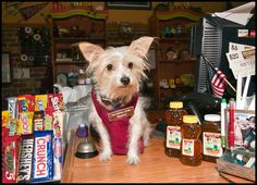 Sparky, CFO (Chief Fuzzy Officer) of The General Store in Lakeland, FL. She is a Portuguese Podengo who rescued me from Animal Control.