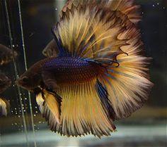 Fish World: The Beauty HalfMoon Betta Betta Aquarium, Colorful Fish, Tropical Fish, Betta Fish Care, Beta Fish, Fish Fish, Betta Tank, Fishing World, Underwater Fish