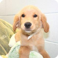 Salem, MA - Golden Retriever Mix. Meet Maddox, a puppy for adoption. http://www.adoptapet.com/pet/11262180-salem-massachusetts-golden-retriever-mix